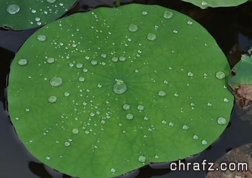 什么是莲花效应(荷叶效应)?-张弦先生-chrafz.com